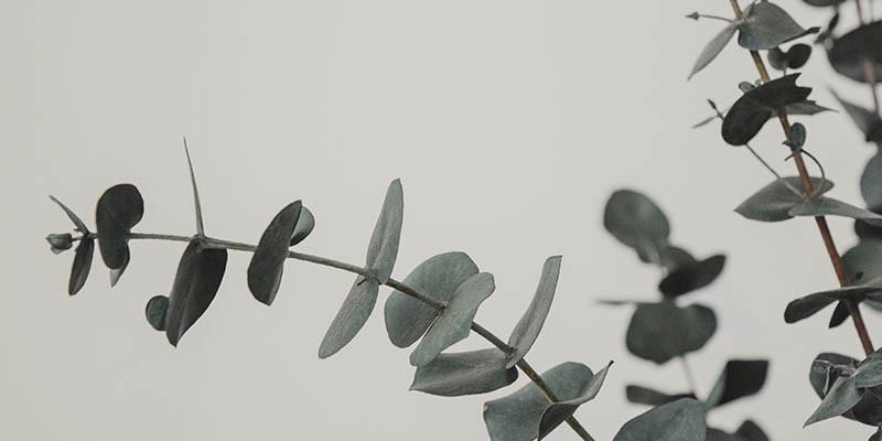 Eucalyptus (Unsplash)