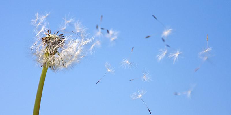 Pollen (iStock)