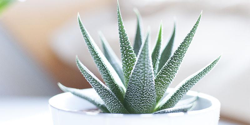 Aloe Vera (Unsplash)